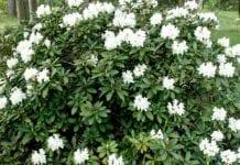 Różanecznik 'Cunningham's White' – mieszaniec wyjątkowy
