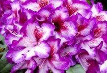 Nowe odmiany różaneczników i azalii