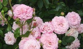Róże z certyfikatem ADR 2014