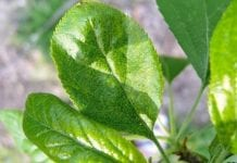 Pordzewiacz śliwowy – stałe zagrożenie śliw
