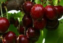 Nowe deserowe odmiany czereśni
