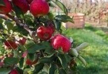 Produkcja jabłek będzie się zwiększać