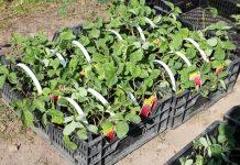 Ograniczenie importu sadzonek truskawek z Włoch do Rosji