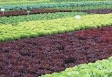 Przyjazna dla środowiska uprawa sałaty