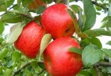 Polskie odmiany: jabłoń 'Sander'