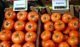 Pomidorowa konferencja w Serocku