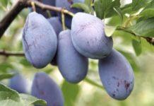 Mołdawia kończy eksport śliwek