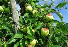 Mołdawskie kłopoty z jabłkami