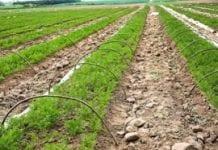 Technologia uprawy marchwi na najwcześniejszy zbiór (cz. 2)