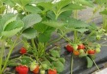 Konferencja Truskawkowa – nowości hodowlane i agrotechniczne