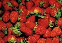 Mrożone truskawki z Polski źródłem zakażenia w Szwecji?