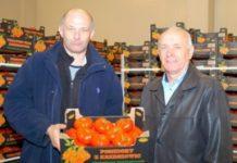 Zbiory pomidorów w Krzeszowicach