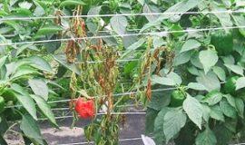 Przyczyny więdnięcia roślin papryki