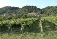 Grad zniszczył ponad 4 tys. hektarów winnic