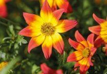 Najefektowniejsza roślina balkonowo-rabatowa