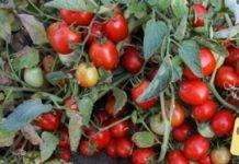 Pomidory z włoskim paszportem