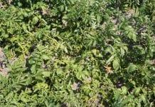 Akademia Ochrony Ziemniaka wg BASF – zwalczanie chorób w fazie kwitnienia