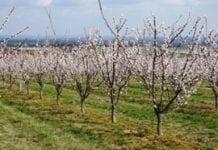 Nawożenie brzoskwini i moreli
