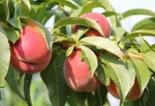 Brzoskwinie i nektaryny – sezon bez większych nadziei