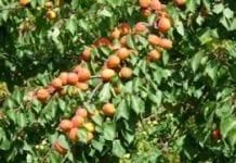 O brzoskwiniach i morelach w Sandomierzu