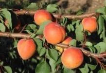 Optymalizacja nawadniania brzoskwini i moreli