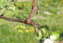 Choroby kory i drewna a choroby przechowalnicze jabłek