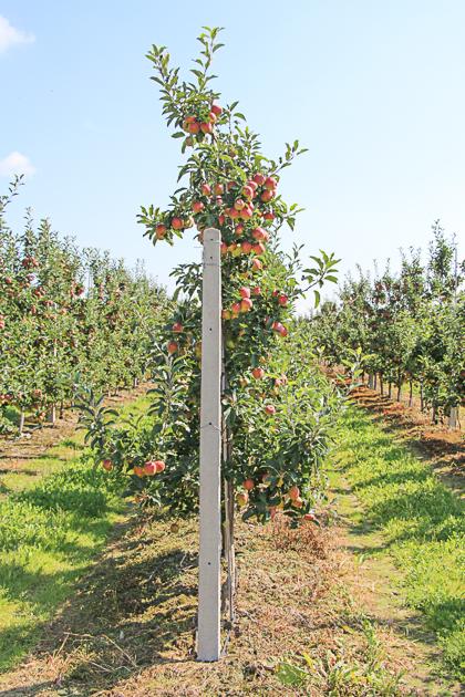 Cięcie jabłoni - dobre doświętlenie owoców
