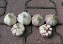 Czosnek – dochodowe warzywo