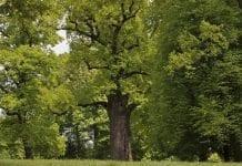 Klub Gaja chce leczyć najcenniejsze drzewa w Polsce