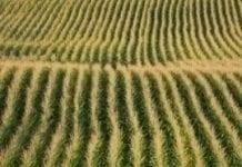 Przybywa upraw GMO