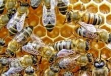 Dlaczego Mospilan® 20 SP jest nietoksyczny dla pszczół, a toksyczny dla szkodliwych gatunków owadów?