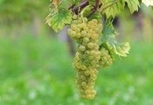 Pierwsze winobranie w Winnicy Samorządowej w Zaborze