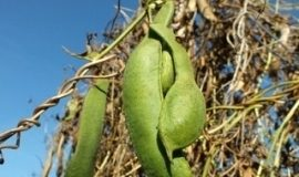 Fasola na suche nasiona