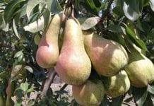 Jakie gruszki zbierzemy w Europie jesienią?