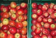 W Czechach znów polskie jabłka z pestycydami