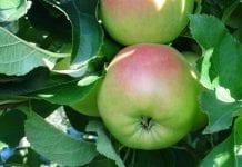 Ochrona jabłoni. Porady na przełom sierpnia i września