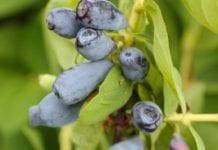 Suchodrzew jadalny w odmianach