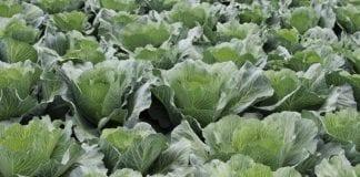 Żywienie warzyw kapustnych