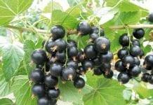 Azja pozostanie liderem produkcji jagód