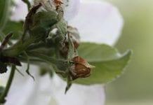 Kwieciak jabłkowiec