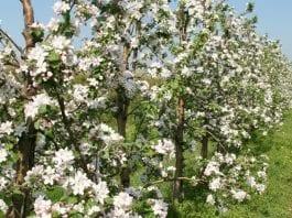 Coraz mniej sadów w Holandii
