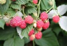 Brytyjskie plantacje malin w Polsce? Powód to brak pracowników