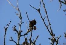 Brunatna zgnilizna drzew pestkowych zimą