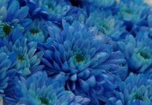 Prawdziwie błękitne chryzantemy – na początek
