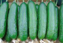 Dobór odmiany ogórka do typu produkcji