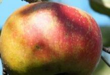 Ordzawienia owoców
