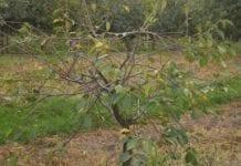 Drobna plamistość liści drzew pestkowych
