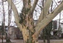 Platan z Podbeskidzia Europejskim Drzewem Roku?