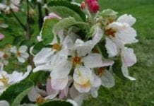 O przerzedzaniu zawiązków pod koniec opadania płatków kwiatowych