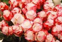 Dümmen Orange wchłonął trzeciego holenderskiego hodowcę róż